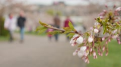 Sakura blossoms. Passers-by in the background. Selective focus - stock footage