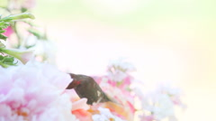 Hummingbird with pale pink and white flowers Stock Footage