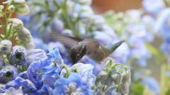 Delphiniums with hummingbird close up Stock Footage