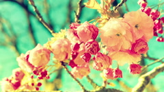 Pink cherry blossoms over blue sky background Stock Footage