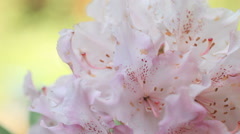 Pale pink rhodendron bloom Stock Footage