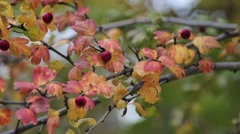Crataegus / Red berry tree in Autumn Stock Footage