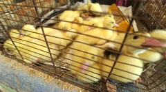 ducklings in a cage - stock footage