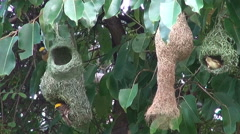Baya Weaver Birds  (Ploceus philippinus) Nest Construction Stock Footage