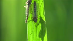 Insect Mosquito gnat macro sitting on green leaf in forest, on field, in garden - stock footage