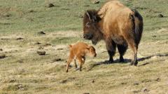 Bison, Buffalo, Calf, Nurse, Yellowstone National Park Stock Footage