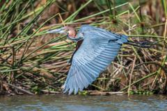 Grey African heron bird flying over the water close up. Stock Photos