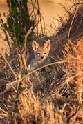 Cape fox (Vulpes chama) resting in front of burrow, Kalahari, South Africa - stock photo