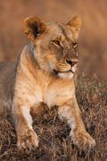 Close-up portrait of a majestic lioness in nature, Africa - stock photo