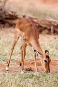 Young Impala baby stands and watching other antelopes in a game reserve - stock photo