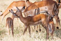 Young Impala baby stands and watching other antelopes in a game reserve, - stock photo