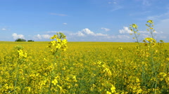 Yellow oil seed rape flowers Stock Footage