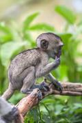Baby vervet monkey licking and holding branch, Addo Elephant National Park - stock photo