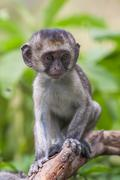 Baby vervet monkey licking and holding branch, Addo Elephant National Park - stock photo