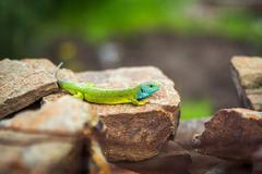 Green emerald glossy gecko lizard sunbathing on a rock Stock Photos
