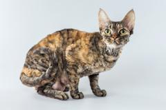 Colorful Cornish Rex kitten posing on a grey background. - stock photo