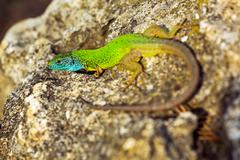 Green emerald glossy gecko lizard sunbathing on a rock Stock Photos