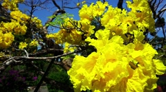 Yellow Flowers Blossom on Tree Stock Footage