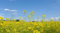Yellow oil seed rape flowers dancing Stock Footage