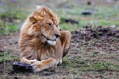Male lion lying in the grass at sunset Masai Mara. Stock Photos