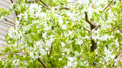 Plum tree blooming with white flowers. Stock Footage