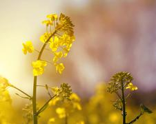 Flower of a rapeseed - stock photo