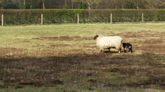 Schoonebeeker heath sheep, ewe with lamb Stock Footage