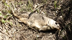 dead carp on the river bank - stock footage
