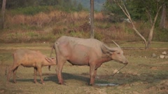Water buffalo tied up with rope standing next to calf in a field (side-view) - stock footage