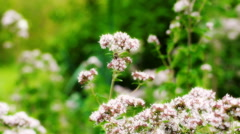 Small bee sitting on the flower and feeding, steadycam shot Stock Footage
