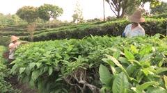 China Tea plantation local farmers in Pu'er - stock footage