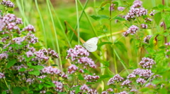 Butterfly sitting on flowering plant and feeding, steadycam shot Stock Footage