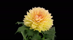 Time-lapse of dying pink yellow dahlia in RGB + ALPHA matte format Stock Footage