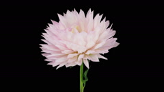 Time-lapse of dying pink dahlia flower in RGB + ALPHA matte format - stock footage