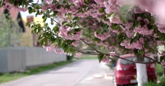 Japanese Cherry Sakura Branch Blossoming Closeup Stock Footage