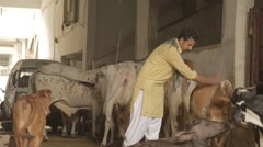 man with cows dairy Pakistan - stock footage