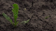 Young sugar beet growing in field, dolly slider Stock Footage