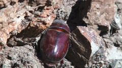 A female dung beetle Stock Footage