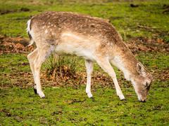 Wild fallow deer at Dunham Massey, Altrincham, UK - stock photo