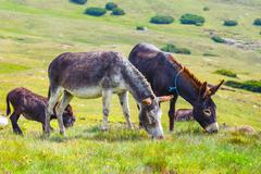 Drove of donkeys resting in the green meadow - stock photo