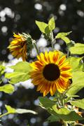 Sunflower Plant Backlit By The Sunlight - stock photo