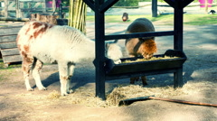 Young alpacas eating hay at the farm Stock Footage