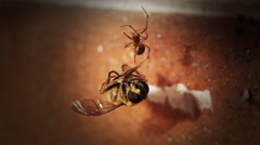 Fight for survival. A bee is caught by a spider - stock footage