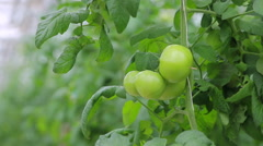 Green tomato plant Stock Footage