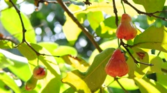 Rose apple on tree with green background - stock footage