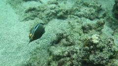 Orange-spine unicorn fish,Kapoho and Waiopae tide pools Stock Footage