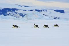 Emperor Penguins in Antarctica Stock Photos