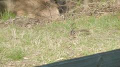 Chipmunk in grassy field Stock Footage