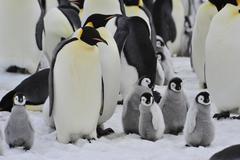 Emperor Penguins with chick Stock Photos
