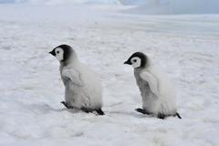 Emperor Penguins  chicks Stock Photos
